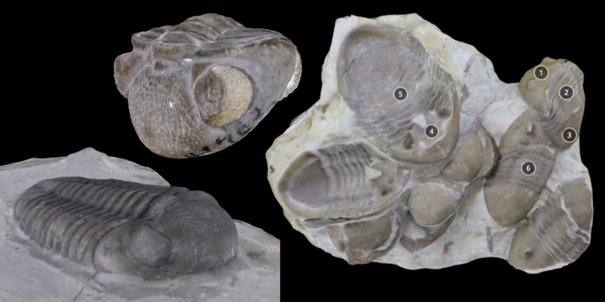 Three 3D models of trilobite specimens.