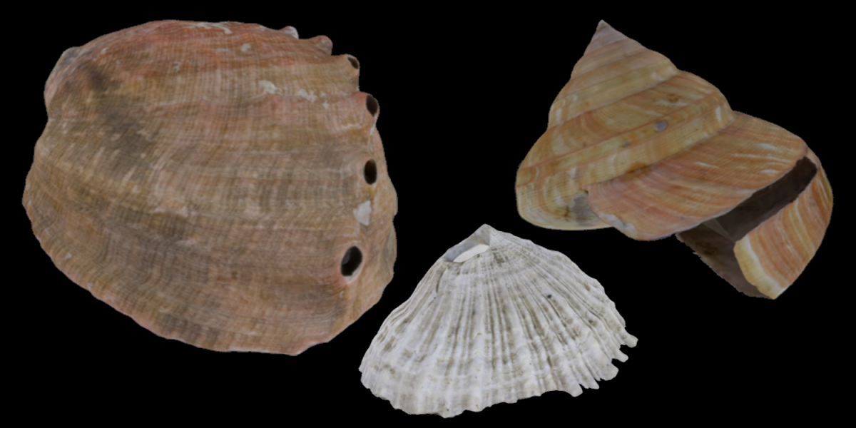 Examples of three different kinds of Vetigastropoda, including an abalone, key hole limpet and slit shell