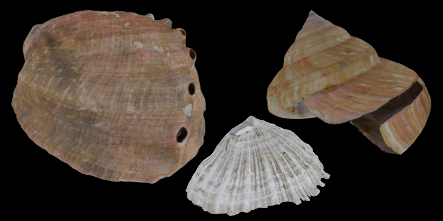 3D models of three different types of Vetigastropoda, including abalone, key hole limpet, and slit shell