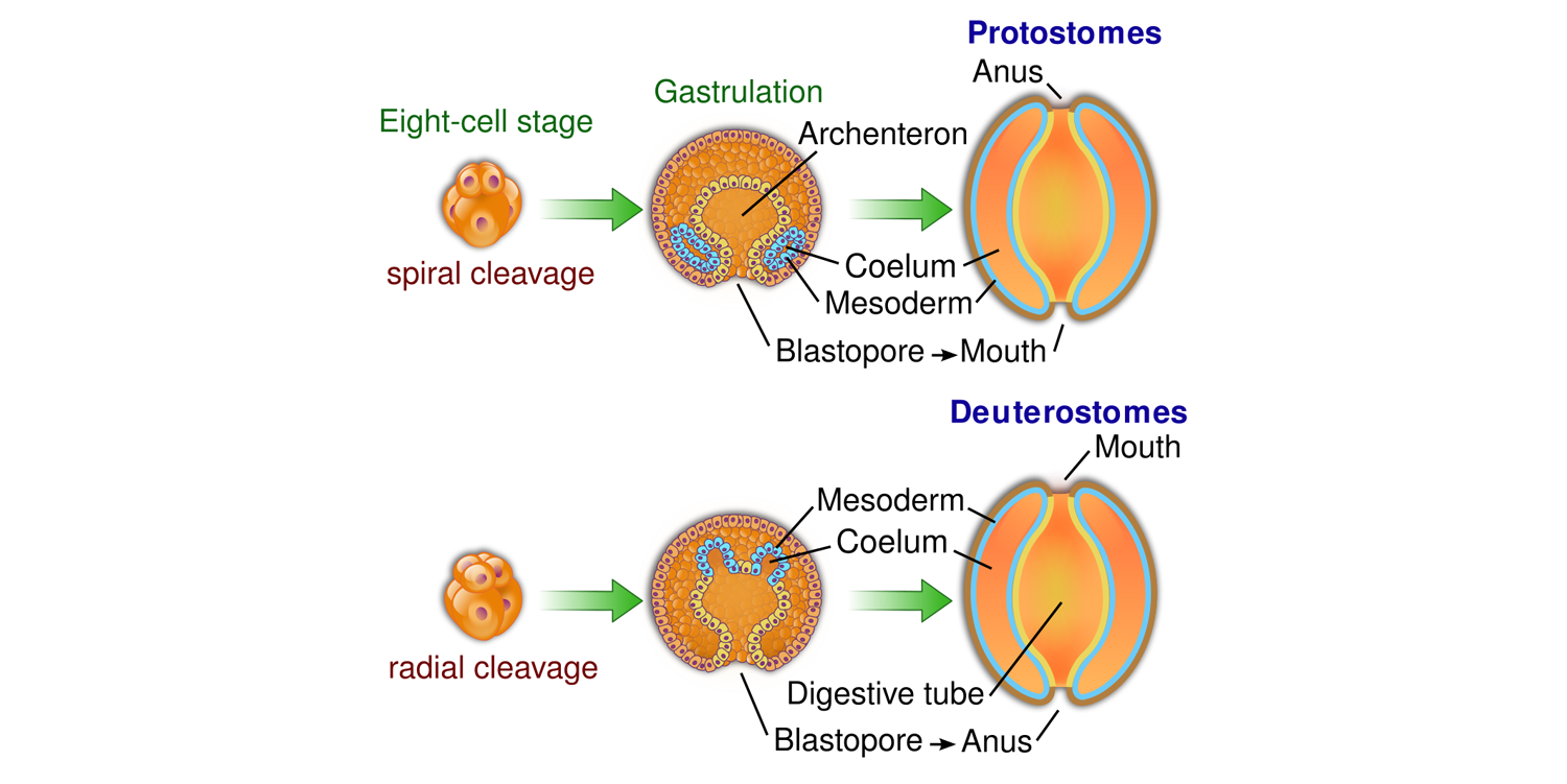 Illustration showing the differing fates of the blastopore in protostomes and deuterostomes.