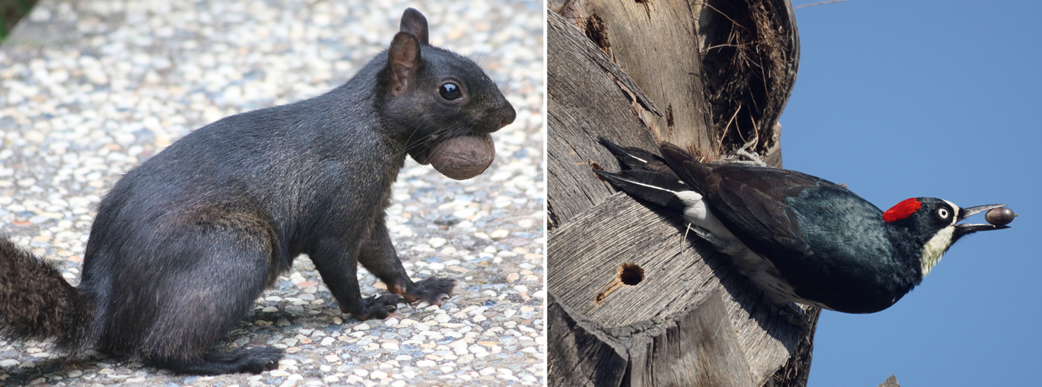 2-Panel figure. Panel 1: Squirrel with a nut in its mouth. Panel 2: Acorn woodpecker with an acorn in its beak.