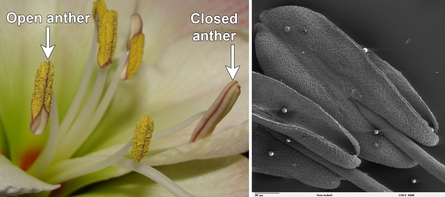 2-Panel figure. Panel 1: Hippeastrum flower with open and closed anthers. Panel 2: Scanning electron micrograph of open Egyptian starcluster anthers.
