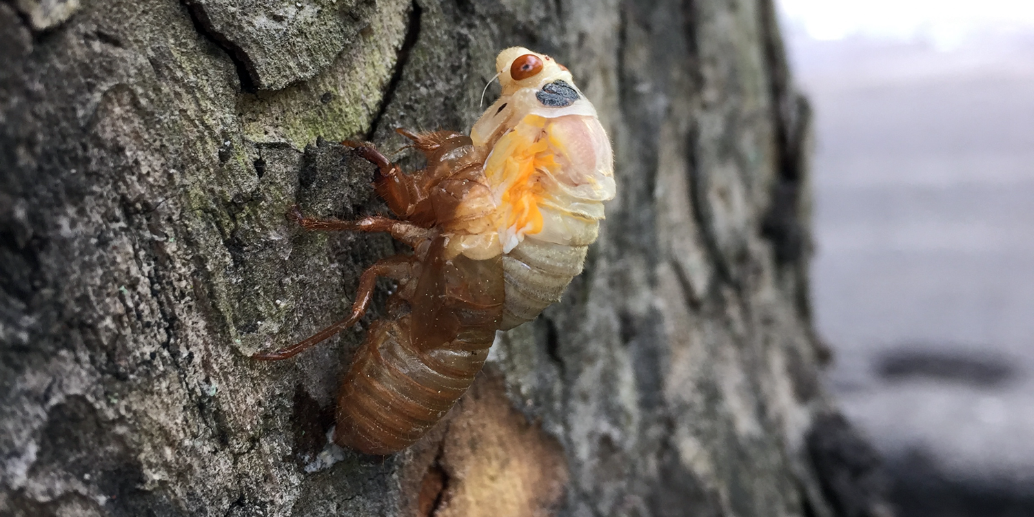 Photograph of a cicada emerging from its molted exoskeleton.