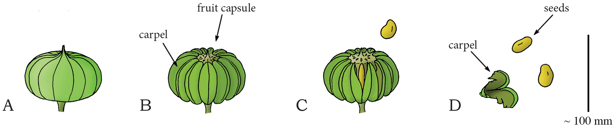 Diagram showing explosive dehiscence of a sandbox tree fruit.