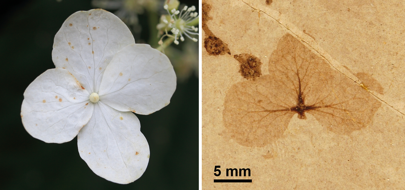 2-Panel figure. Panel 1: Living sterile hydrangea flower. Panel 2. Fossil sterile hydrangea flower.