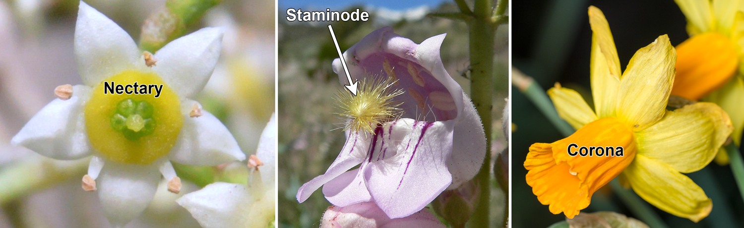 3-Panel image: Panel 1: Wilga flower with ring-like, yellow nectary. Panel 2: Penstemon flower with fuzzy staminode sticking out. Panel 3: Maypop flower with corona of whip-like appendages.