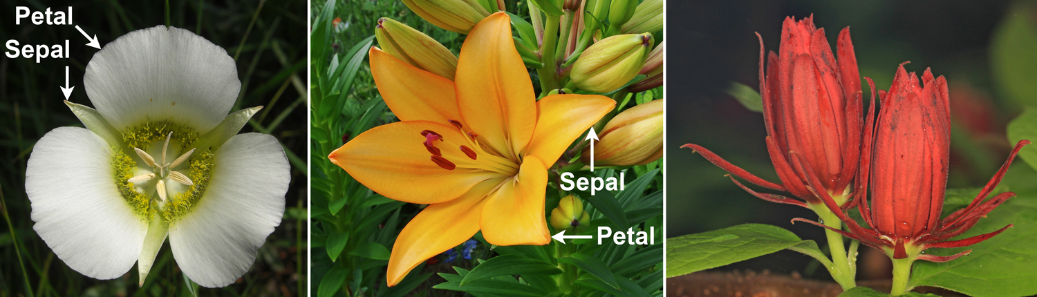 3-Panel figure. Panel 1: Mariposa lily with green sepals and white petals. Panel 2: Lily flower with sepals and petals that look similar. Panel 3: Sweetshrub with red, helically arranged tepals.