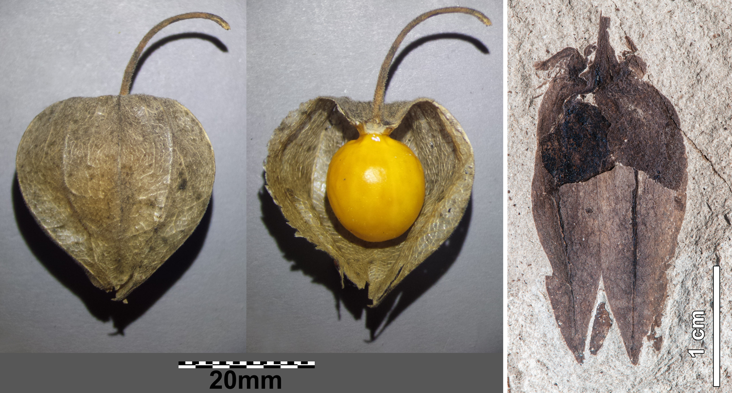 2-Panel figure. Panel 1: Cape gooseberry with inflated lantern intact, and lantern removed. Panel 2: Fossil groundcherry from the Eocene of Argentina.