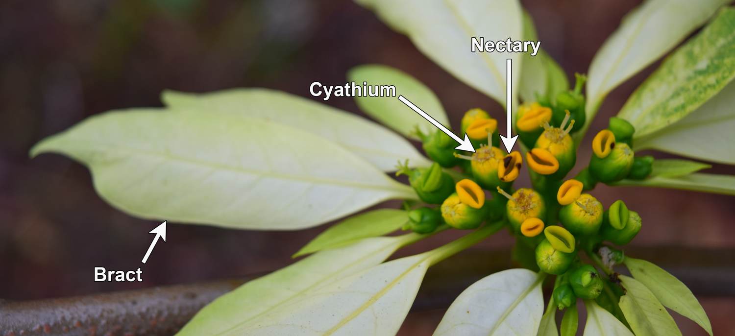 Detail of poinsettia flower-like inflorescence, with one cyathium, a nectary, and a bract indicated by arrows.