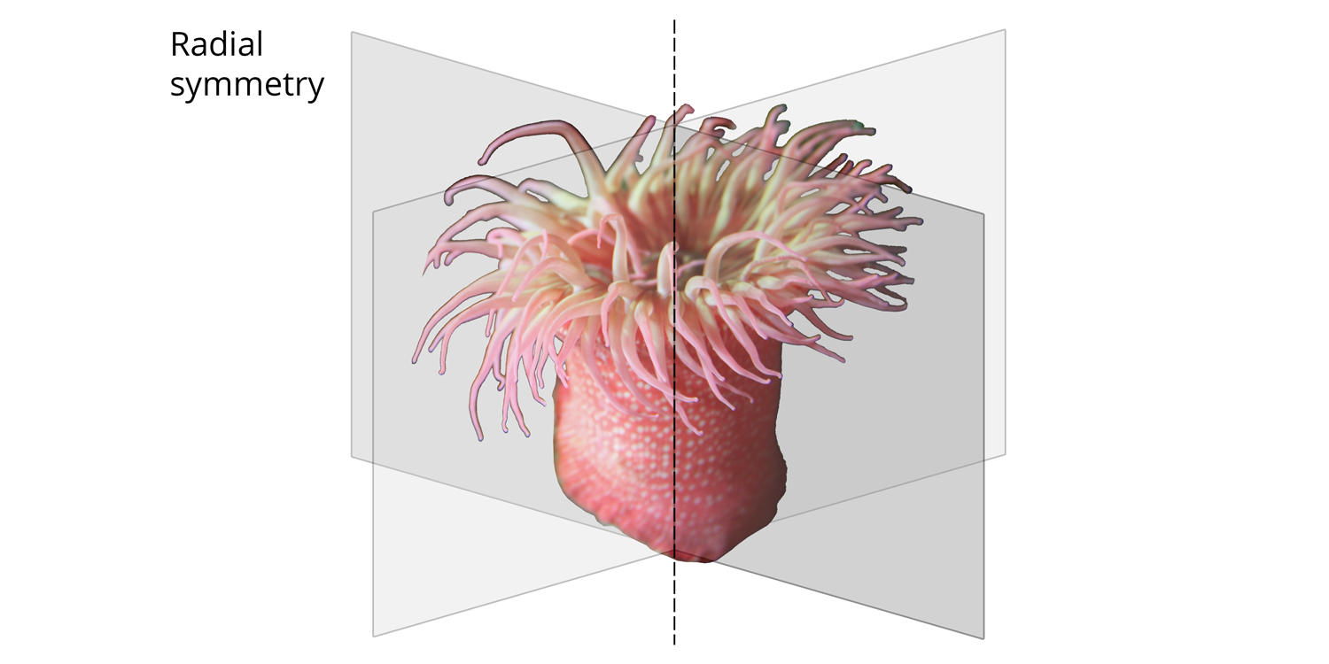 Illustration of radial body symmetry in a sea anemone.