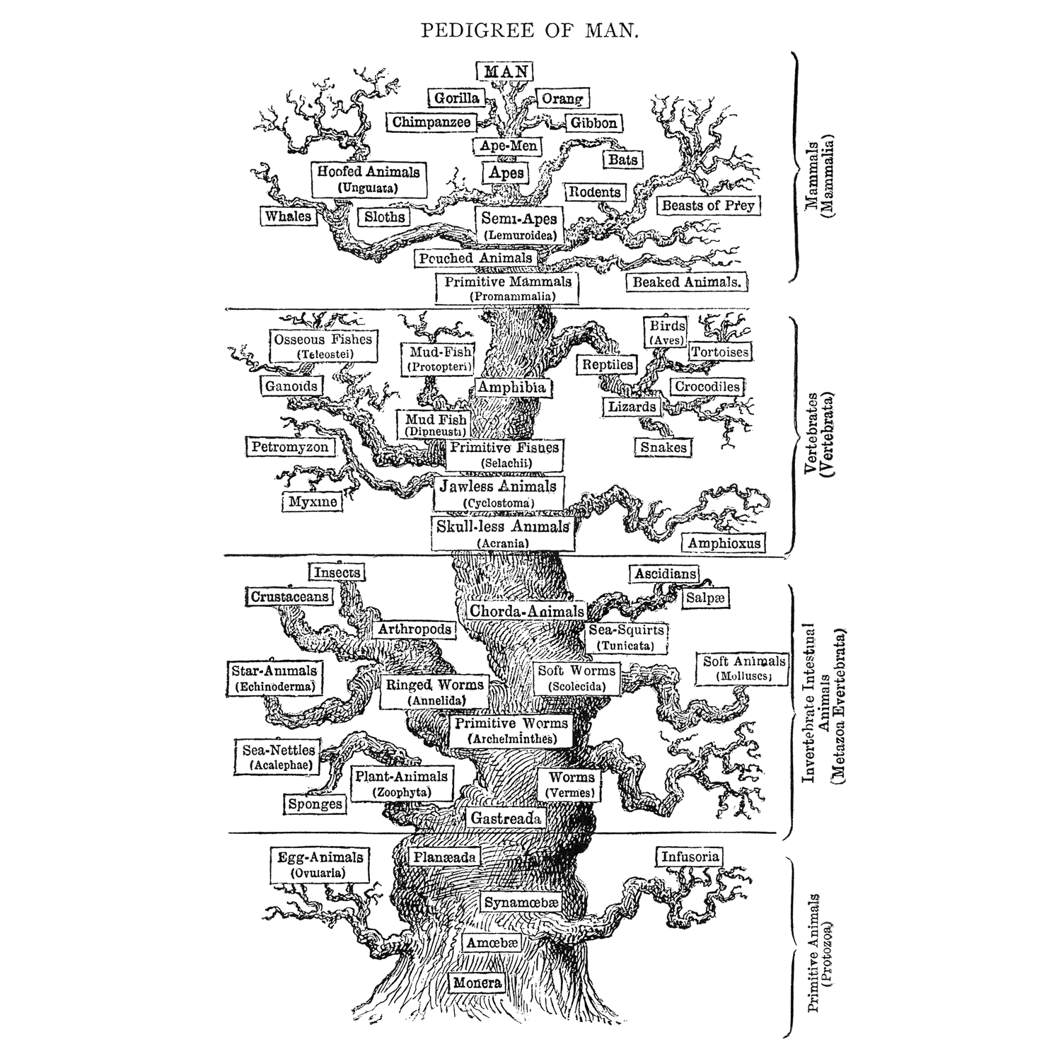 Ernst Haeckel's hypothesis for animal phylogeny.