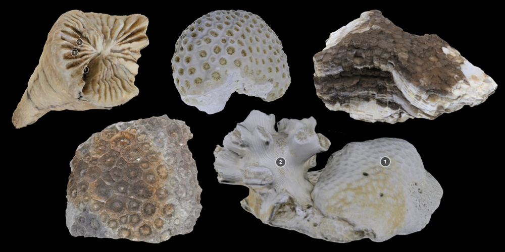 Five 3D models of various corals.