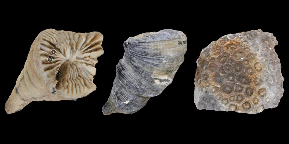 Three 3D models of fossil rugose corals.