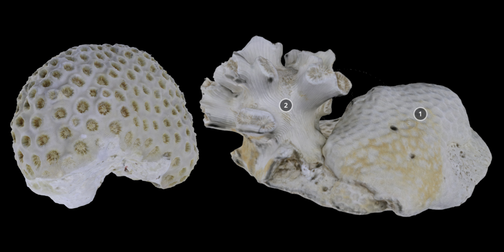 Two 3D models of scleractinian corals.