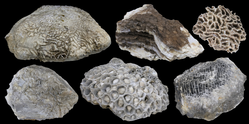 Six 3D models of tabulate coral fossils.