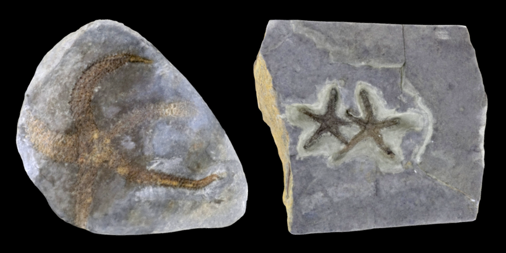 Two 3D models of representative Asteroidea fossils.