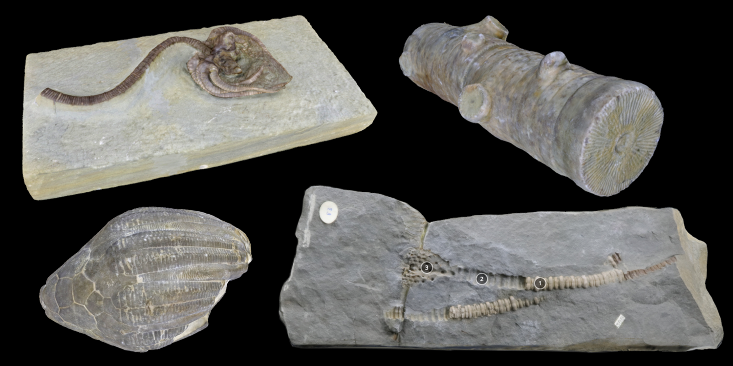 Four 3D models of representative Crinoidea fossils.
