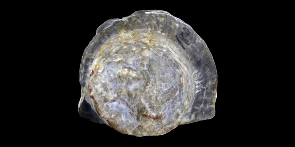 3D model of a representative Edrioasteroidea.