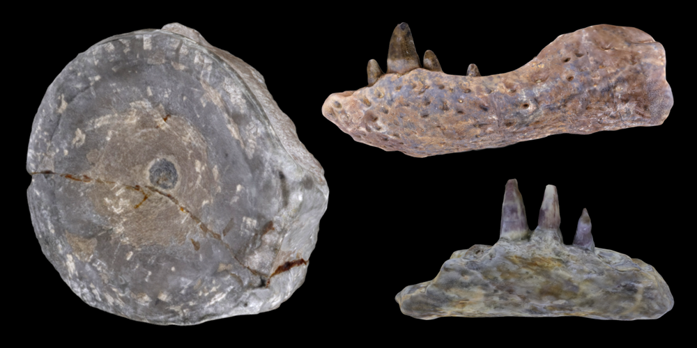 Three 3D models of representative amphibian and reptiles fossils.