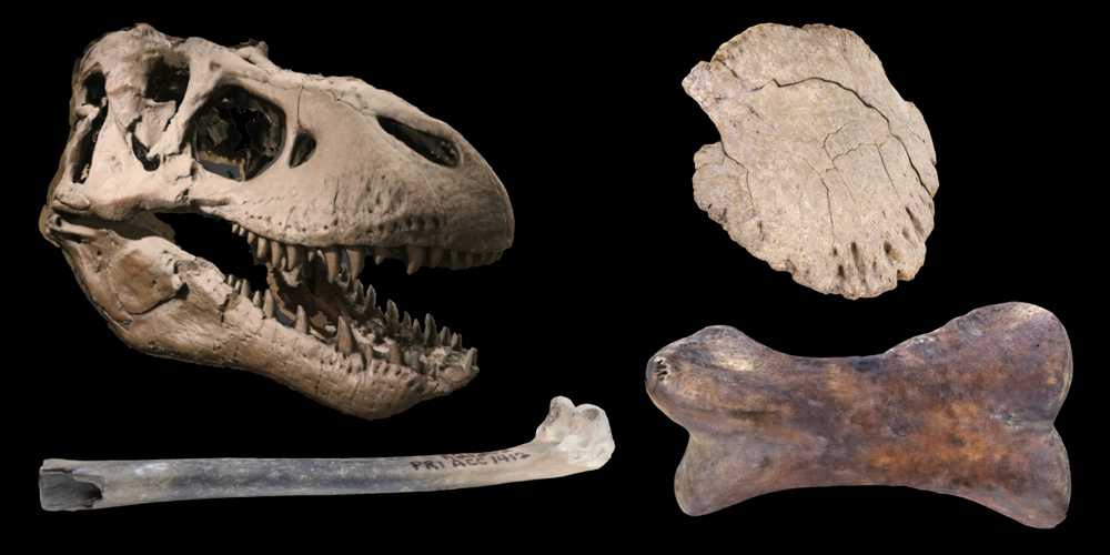 Four 3D models of representative dinosaur and bird fossils.