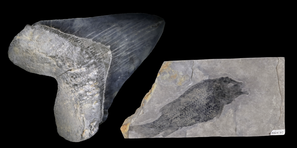 Two 3D models of representative fish fossils.