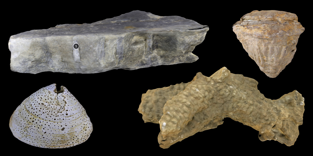 Four 3D models of representative dwelling trace fossils.