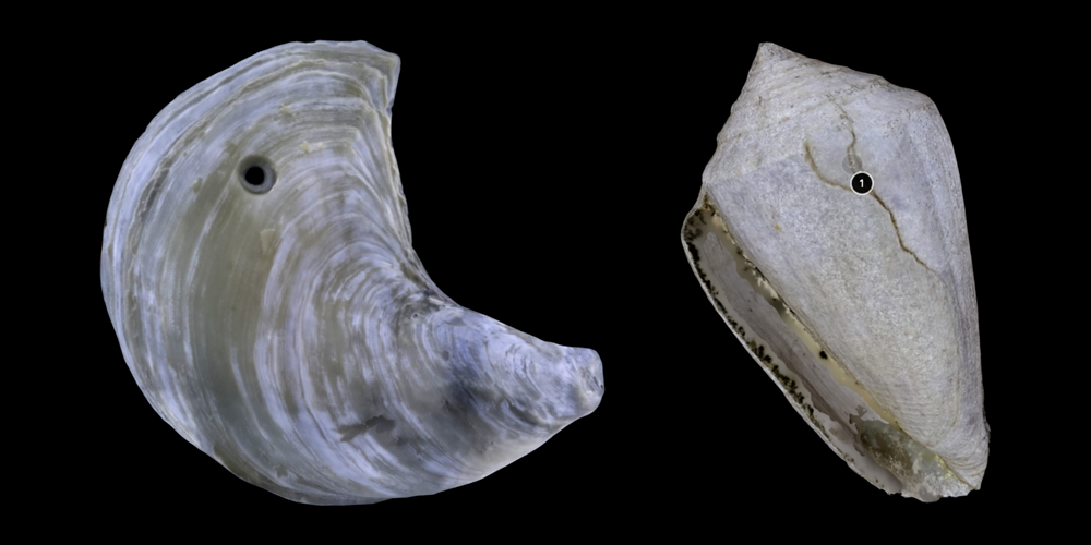 Two 3D models of mollusk shells showing predation traces.