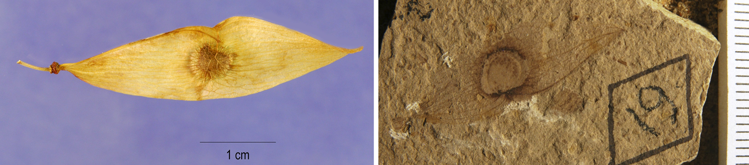 2-Panel figure of samaroid mericarps (winged fruit sections) of Ailanthus. Panel 1: Modern fruit. Panel 2: Similar-looking fossil fruit.