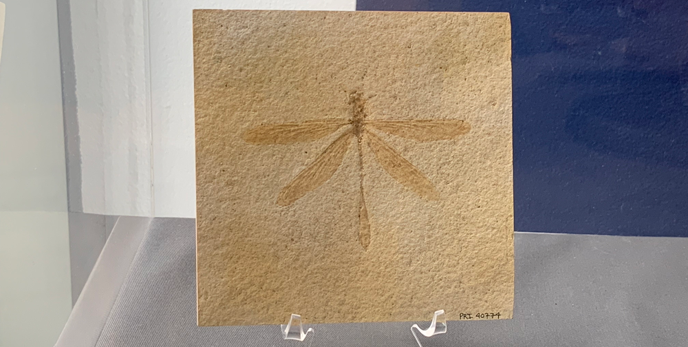 Photograph of a cast of a fossil dragonfly.