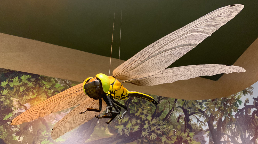 Photograph of a model of a large dragonfly from the Carboniferous period.