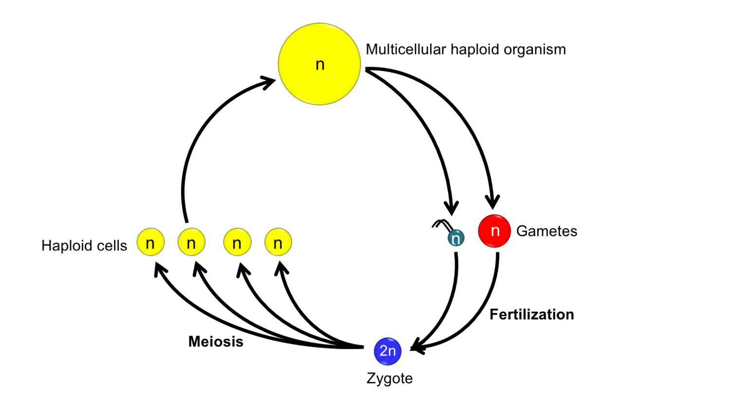 Diagram of the life cycle of an organism with a haplontic life cycle.