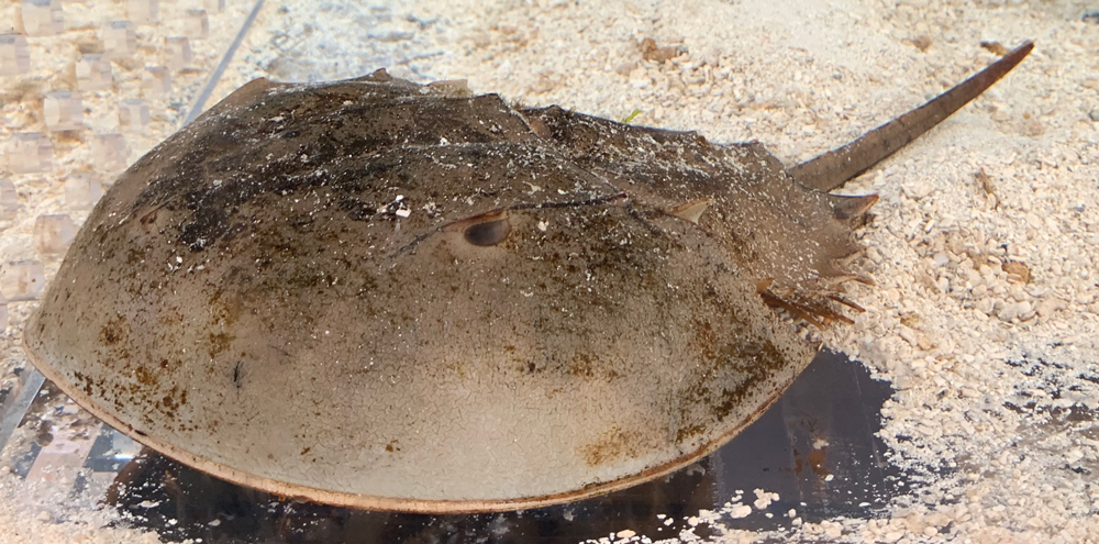 Photograph of a horseshoe crab.