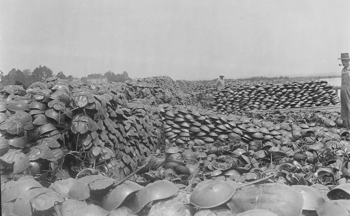 Photograph of piles of horseshoe crabs harvested for fertilizer production.