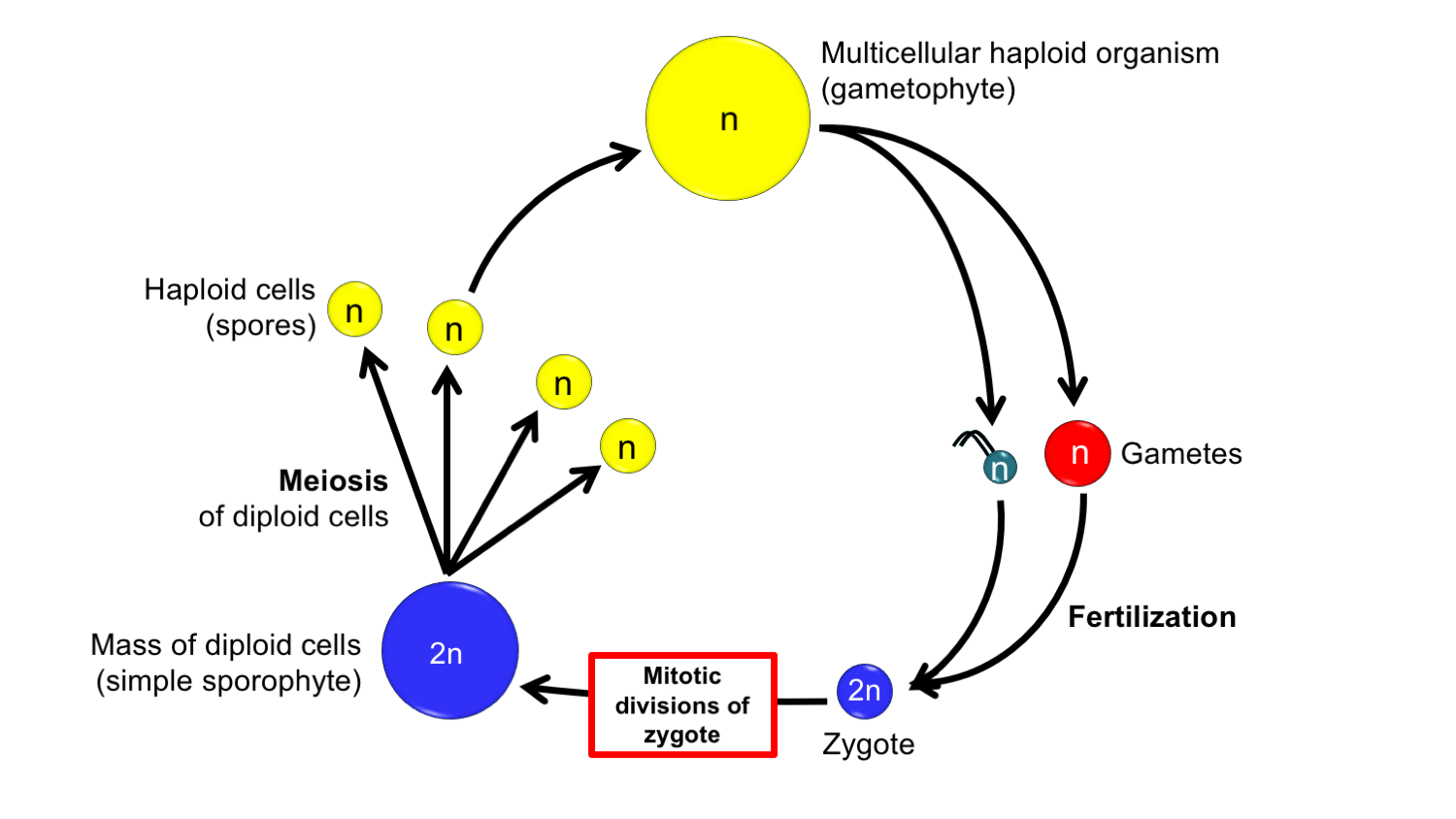 Diagram of a transitional life cycle from alga to land plant, showing the origin of a simple sporophyte by interpolation.