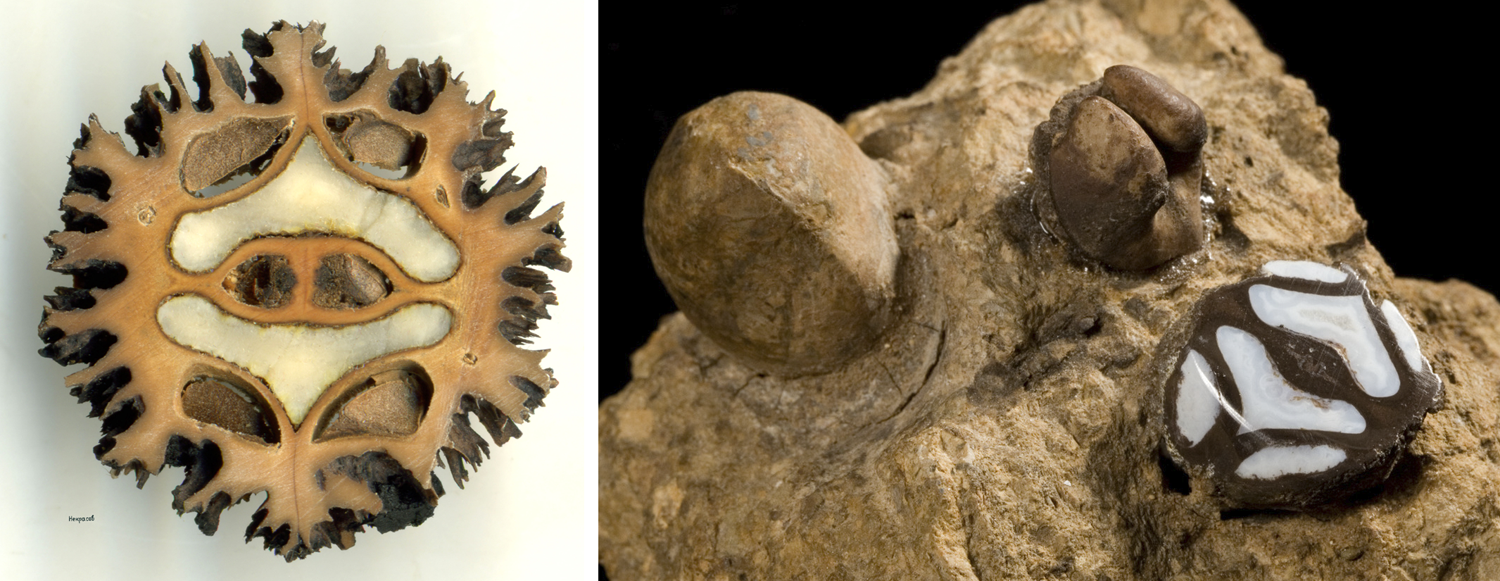 2-Panel Figure. Panel 1: Transverse section of a butternut. Panel 2. Fossilized walnuts.