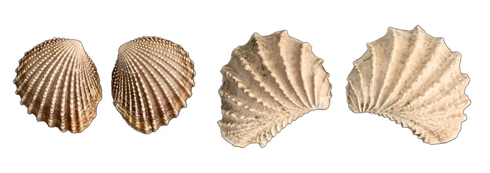 Photographs of pairs of bivalve shells. Left: fossil Trigonia thoracica from the Cretaceous of Tennessee. Right: Modern Neotrigonia margaritacea from Tasmania.