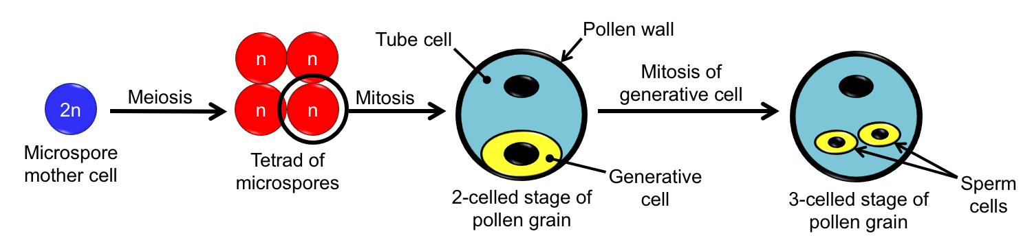 Diagram showing stages in the development of a pollen grain, from microspore mother cell to 3-celled stage.