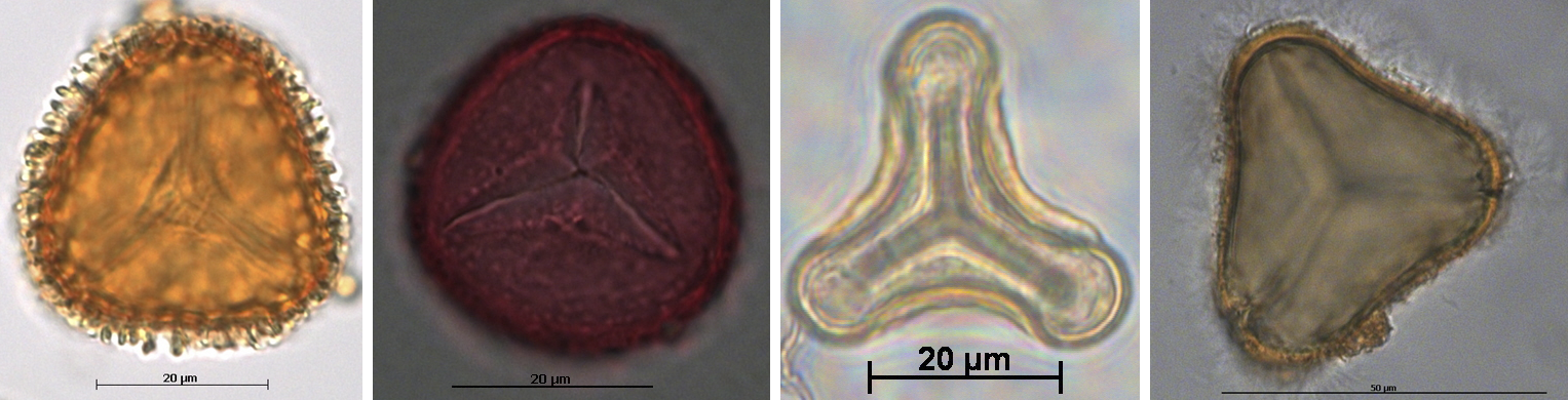4-panel figure showing examples of lycophyte and fern spores with trilete (Y-shaped) marks.