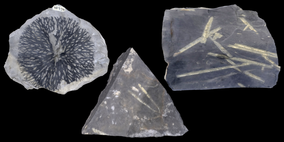 3D models of representative graptolite fossils.