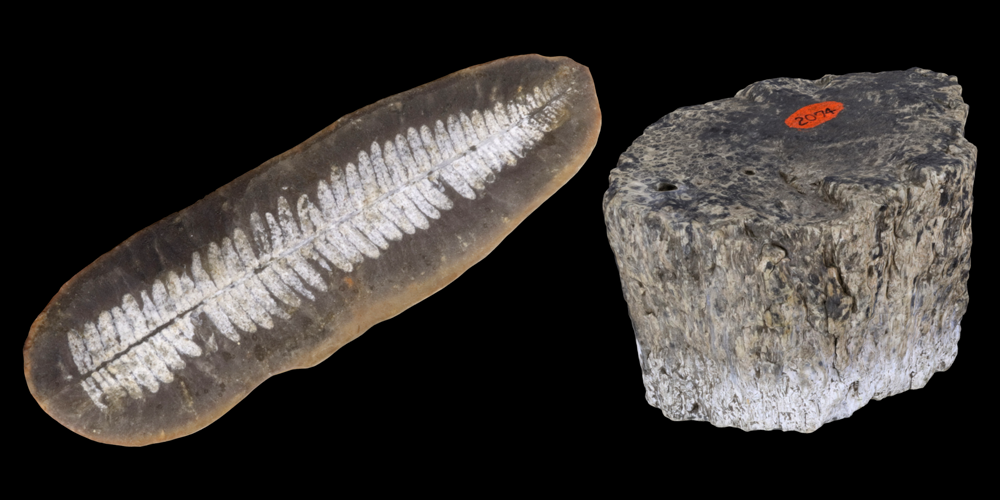 3D models of representative fern fossils.