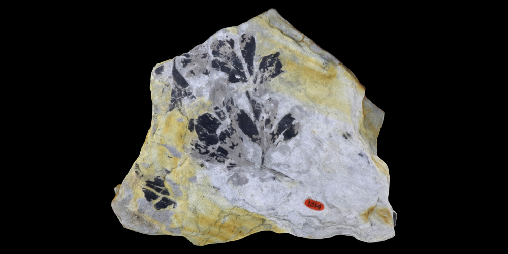 3D model of a representative ginkgophyte fossil.