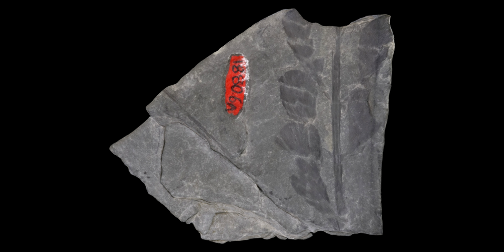 A 3D model of a representative progymnosperm fossil.
