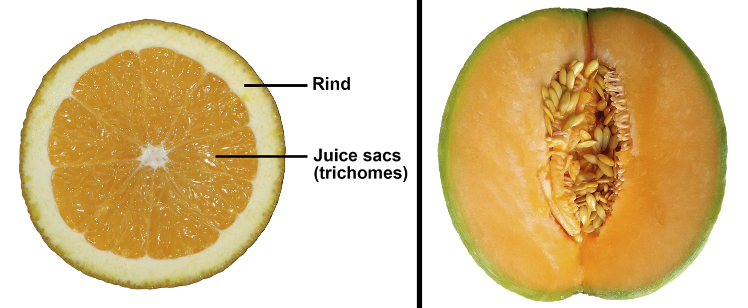 2-Panel figure. Panel 1: Cross section of an orange showing rind and juice sacs. Panel 2: Longitudinal section of a cantaloupe.