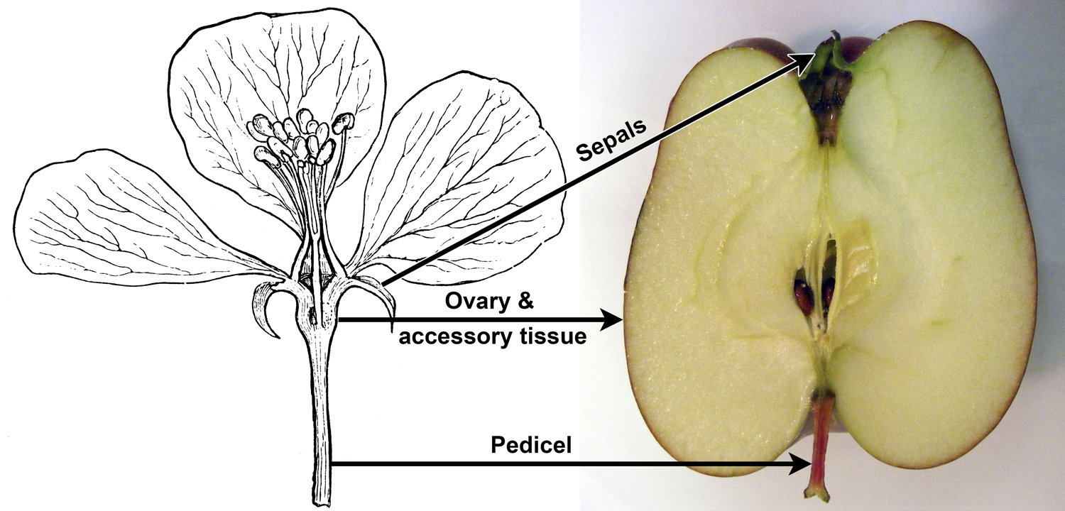 Parts of apple flower compared to parts of apple fruit.