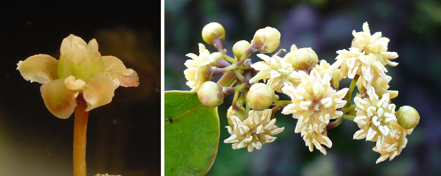 2-Panel figure of Amborella flowers. Panel 1: A female flower. Panel 2: Male flowers.