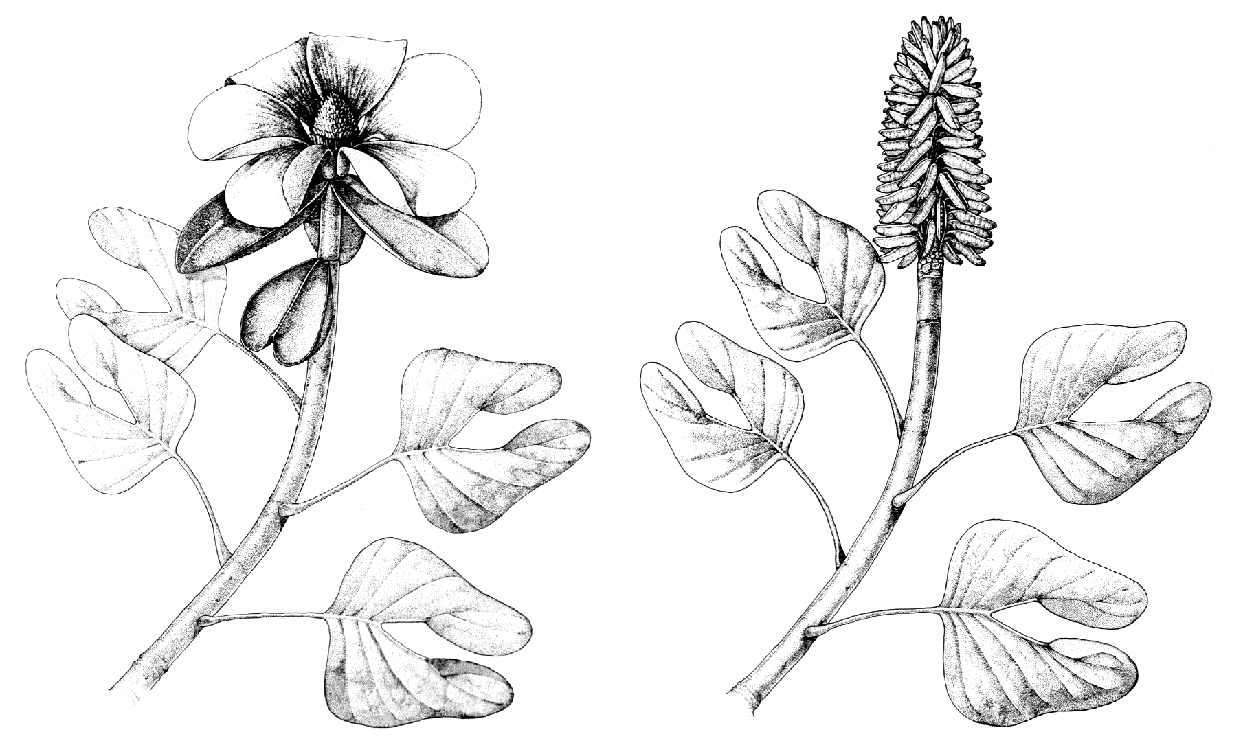 Drawings showing reconstructions of Archaeanthus, an extinct Magnolia-like plant, in flower and in fruit.
