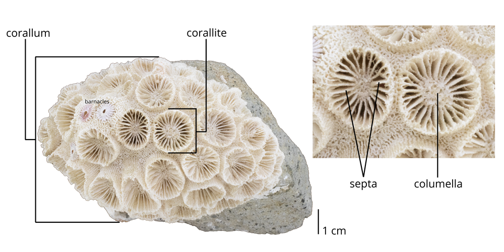 Image with morphology labeled (including corallum, corallite, septa, and columella) of the colonial scleractinian coral Astrangia sp.