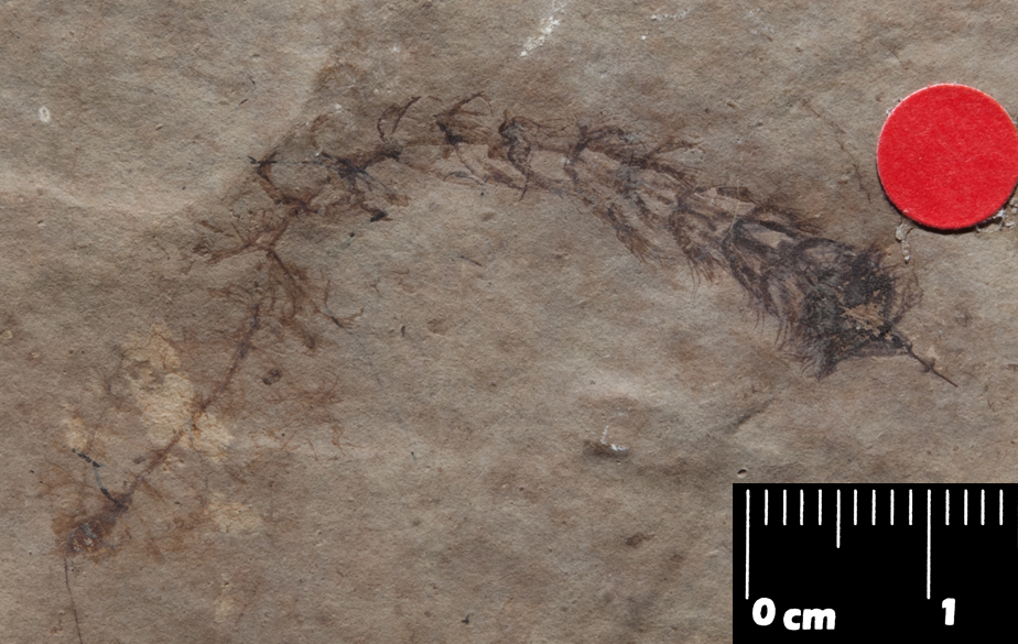 Photo of fossil Ceratophyllum with characteristic dissected leaves. Oligocene, France.