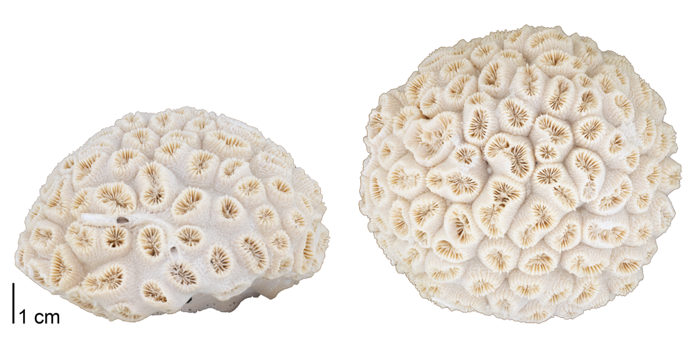 Photographs of a fossil of the colonial coral Dichocoenia stokesii.