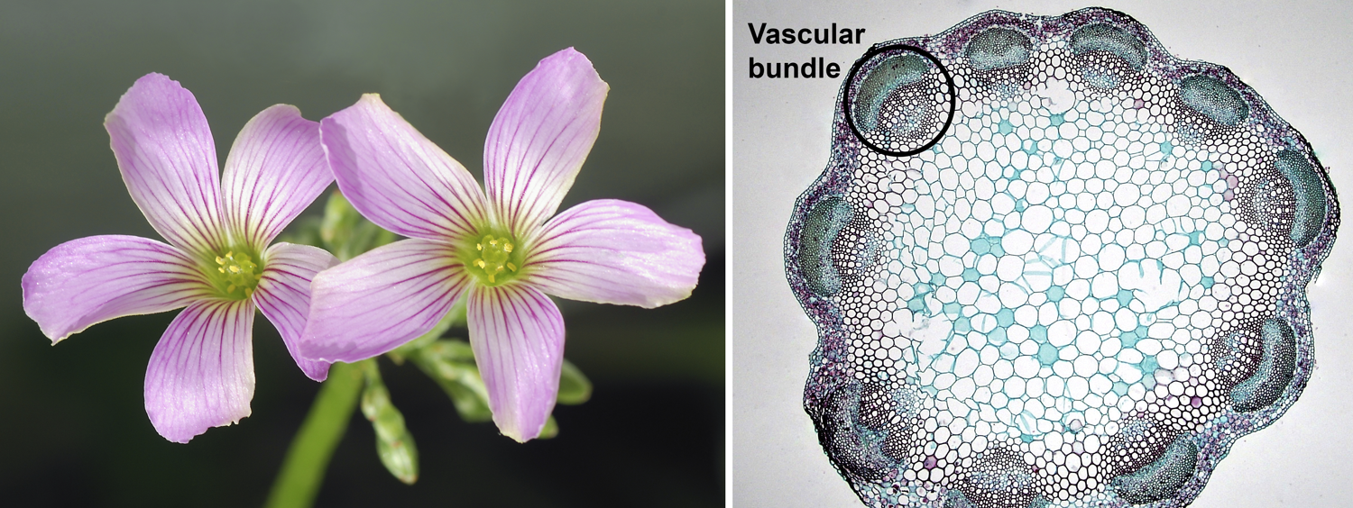2-Panel figure. Panel 1: Pink woodsorrel flowers showing 5 petals, 10 stamens, and 5 stigmas. Panel 2: Cross-section of clover stem showing a single ring of vascular bundles.